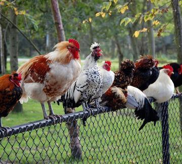 Vogelgriep: pluimvee binnen houden