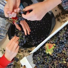 Plukken van druiven